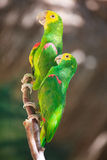 Two Amazon parrots Stock Photography