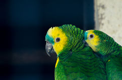 Two amazon parrots. A pair of amazon parrots in the zoo Stock Photo