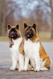 Two American akita dogs outdoors Royalty Free Stock Photos