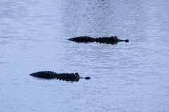 Two American alligators. At the Viera wetlands stock images