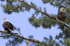 Two American Bald Eagles Royalty Free Stock Images