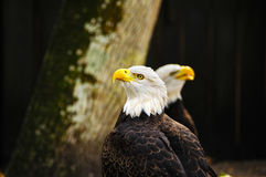 Two American Bald Eagles Stock Image