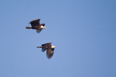 Two American Bald Eagles in Flight Royalty Free Stock Images