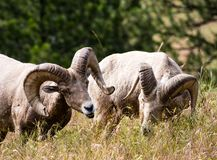 Two American bighorn sheep grazing on the meadow stock photography
