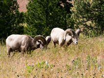 Two American bighorn sheep grazing on a meadow royalty free stock photography
