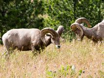 Two American bighorn sheep grazing on the meadow royalty free stock image