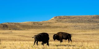 Two American Bison atop a hill in Antelope Island State Park in Utah royalty free stock photos