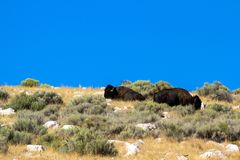 Two American Bison atop a hill in Antelope Island State Park in Utah royalty free stock images