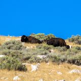 Two American Bison atop a hill in Antelope Island State Park in Utah stock photography