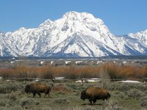Two bison in front of the Teton Mountain Range in Wyoming, USA. royalty free stock image