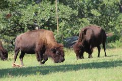 Two bison Royalty Free Stock Images