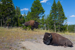 Two American Bison in Yellowstone National Park Royalty Free Stock Photo