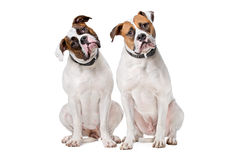 Two American Bulldogs Stock Photography