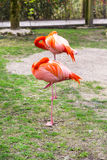 Two american or Caribbean Flamingo sleeping Stock Photography
