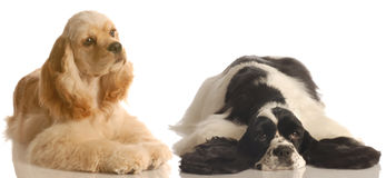 Two american cocker spaniel. Dogs one buff and the other black and white - champion bloodlines stock image
