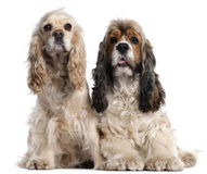 Two American Cocker Spaniels, 1 and 2 years old royalty free stock image