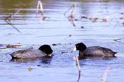 Two American coots. Royalty Free Stock Photo