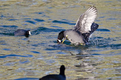 Two American Coots Battling in the Water Stock Images