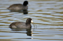 Two American Coots Swimming Across the Still Water Royalty Free Stock Image