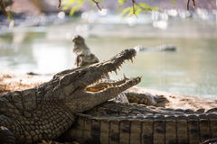 Two American crocodile Royalty Free Stock Photo