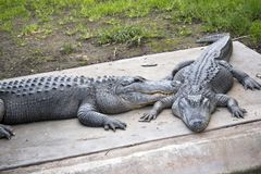 Two American crocodiles Stock Photography