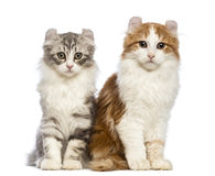 Two American Curl kittens, 3 months old, sitting and looking at the camera Royalty Free Stock Photography