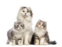 Two American Curl kittens, 3 months old, sitting with their mum. In front of white background royalty free stock images