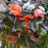 Two American Flamingos with reflections on the lake stock image