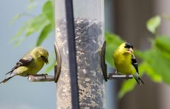 Two American Goldfinch Birds Eating Birdseed At Tube Feeder Stock Photo