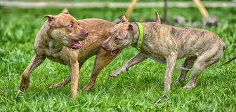 Two American Pit Bull Terrier Playing Royalty Free Stock Photos