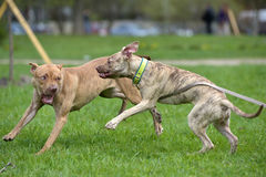 Two American Pit Bull Terrier Playing Stock Images