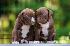Two american pit bull terrier puppies posing outdoors together. American pit bull terrier puppies outdoors Stock Photos