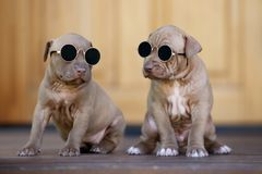 Two american pit bull terrier puppies posing outdoors together. American pit bull terrier puppies outdoors royalty free stock image