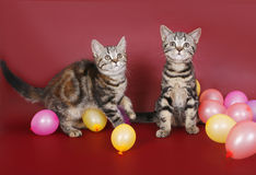 Two American Shorthair kitten with balloons Stock Photos