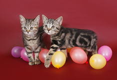 Two American Shorthair kitten with balloons Royalty Free Stock Photography
