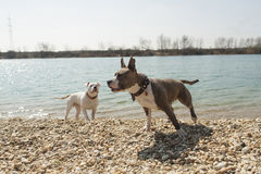 Two American Staffords standing near water Stock Photo