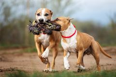 Two american staffordshire terrier dogs running outdoors together. Two american staffordshire terrier dogs outdoors Stock Photography