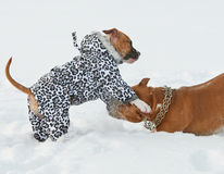 Two american staffordshire terrier dogs playing on a snow-covere Royalty Free Stock Photography