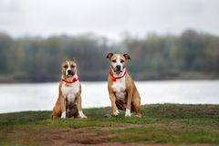 Two american staffordshire terrier dogs posing outdoors royalty free stock images