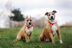 Two american staffordshire terrier dogs posing outdoors. Two american staffordshire terrier dogs together outdoors royalty free stock image
