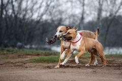 Two american staffordshire terrier dogs running outdoors. Two muscular dogs running and playing together royalty free stock photos