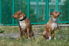 Two american staffordshire terrier dogs stock images