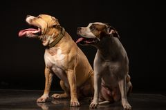 Two American Staffordshire Terrier Dogs Sitting together and touching paws on Isolated Black Background royalty free stock photography
