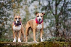 Two american staffordshire terrier dogs standing outdoors together. Two american staffordshire terrier dogs outdoors Stock Photography