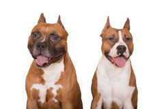 Two american staffordshire terrier dogs on white Royalty Free Stock Image