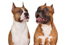 Two american staffordshire terrier dogs on white. American staffordshire terrier dogs on white Stock Photo