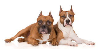 Two american staffordshire terrier dogs on white. American staffordshire terrier dogs on white Royalty Free Stock Images