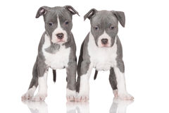 Two american staffordshire terrier puppies Royalty Free Stock Image