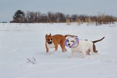 Two american staffordshire terrier puppys are running and playing on white snow. Pet animals. Seven month old royalty free stock photos