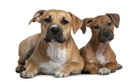 Two American Staffordshire terriers, 4 months. And 9 months old, in front of white background Royalty Free Stock Photo